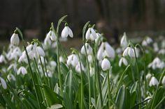 Alcsúti Arborétum: Hóvirág