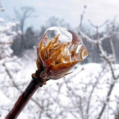 "It's small here but it looks like a wizard's staff!    ""Icy Globes: Frozen Viburnum bodnantense buds appear suspended in unfurling motion."""