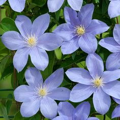 Clematis-Blue-Eyes                                                                                                                                                      More