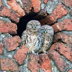 These two! ♥♥♥ #owls #owlphotography #nature #iloveowls #naturephotography #wildlifephotography #owly #owlstagram #owlstuff #birdsofinstagram #birds #owlcollection #owlet #owlobsession #owladdict #owlaholic #owllovers #owlsareawesome #happysaturday #dailyowl #february #laughingowlparliament Owl Photos, Owl Pictures, Owl Eyes, Beautiful Owl, Wise Owl, Owl Bird, Birds Of Prey, Birds 2, Colorful Birds