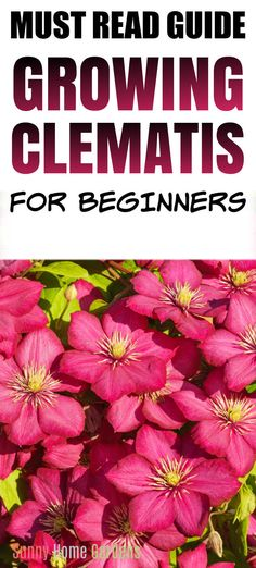 How to grow clematis. Great tips & ideas for care and planting clematis vine flowers. This flowering vine is perfect for growing on a trellis and in your cottage garden. #clematis #clematisvine #gardening #flowers Clematis Trellis, Clematis Plants, Garden Trellis, Garden Plants, Growing Flowers, Planting Flowers, Sweet Autumn Clematis, Garden Yard Ideas, Garden Tips