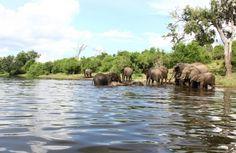 Herd of elephants near Camp Chobe