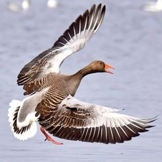 Grågås går in för landning #gäss #fåglar #birdlife #birdwatching #hornborgasjön #naturumhornborgasjön #ig_week_nature #nikond7200photography #nikon #fowl_waterfowl