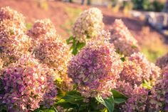 Smooth Hydrangea, Hydrangea Bloom, Hydrangea Care, Hydrangeas, Hydrangea Plant, Hydrangea Varieties, Hydrangea Quercifolia, Flowering Bushes, Lawn And Landscape