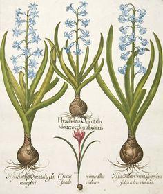 Basilius Besler, Hyacinth and Crocus, 1640