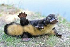 Lil baby platypus - your daily dose of funny cats - cute kittens - pet memes - pets in clothes - kitty breeds - sweet animal pictures - perfect photos for cat moms Baby Platypus, Perry The Platypus, Beautiful Creatures, Animals Beautiful, Animals And Pets, Funny Animals, Strange Animals, Animal Pictures