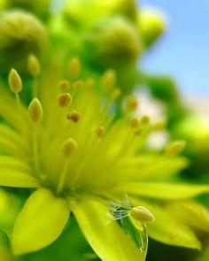 Chartreusse