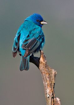 Indigo Bunting – one of the species spotted at HCC's Nalle Bunny Run Preserve