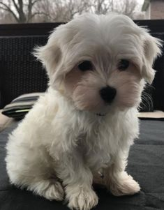 Adopted! Tristan - #maltese - Fairview Heights, IL. 3 months old