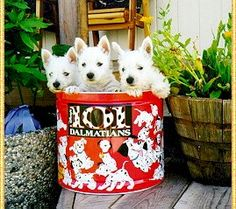 Murphy's West Highland White Terriers
