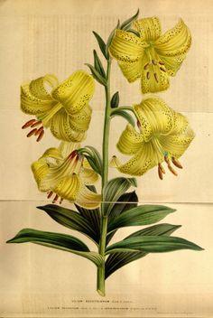 Lilium szovitsianum - circa 1849
