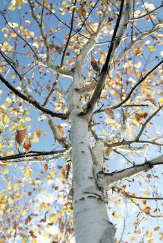 I know birch trees aren't native to Missouri, but I love them and WILL have them in my yard!