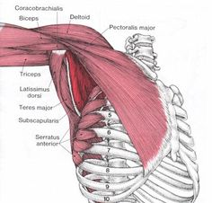 Subscapularis Muscle Origin, Function & Anatomy - Health, Medicine and Anatomy Reference Pictures