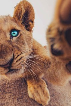 This is Samson. His nickname is lion cub. He has amazing blue eyes. He always reaching out do his best friend. That's me.