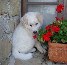 File:Brando Maremma Sheepdog.jpg