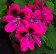 Pelargonium - scented geraniums would be great additions to a sensory garden.