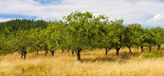Willis Orchard Company | Buy Fruit Trees | Berry Plants | Grape Vines | Nut Trees | Shade Trees