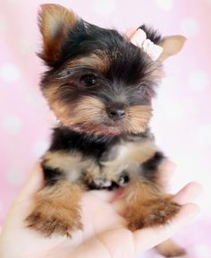 Adorable Yorkie Puppy For Sale in South Florida