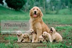 Golden Retriever (Canis familiaris) mother with litter of puppies, Japan