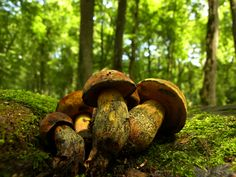 Edible Wild Plants  Discover edible nuts, mushrooms, berries & more while backpacking