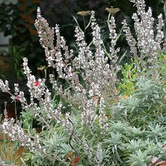"Salvia apiana ""White Sage"" - Long valued for its medicinal and sacred uses, this easy and long-lived Sage is also heat and drought-lovin'! Gorgeous, ever-silver foliage contrasts beautifully with neighboring plants and small white flowers bring the bees! Deer resistant!"