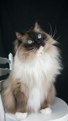 Bailey - ragdoll cat seal point mitted