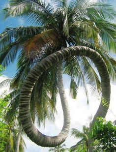 Beautiful coconut tree ~ nature's grand sense of humor!