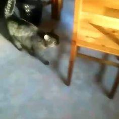Hop on, hop off, hop on, hop off!!! ..This boomerang app has me tired!!!    #boomerang #instacat #hoponhopoff #chair #jump #cute #cats #catsagram #kissa #fun #kitty #pussycat #猫 #katzen #petcat #mollycatfinland #katter #instacool #instafollow #instalike #pets #coolcat #instacats #catoftheday #catsofig #catsofinstagram #instalikes #cat #catlover