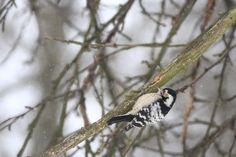 Dzięciołek - Ptaki Polski - fotografia przyrodnicza