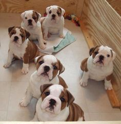 English Bulldog puppies ... How could you choose just one?!