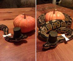 deguisements halloween pour animaux python classe   Déguisements Halloween pour animaux   tortue Starwars python photo oie Miley Cyrus lézar...