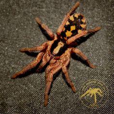 """Hapalopus spec kolumbien""""gross"""" Unterfamilie:Theraphosinae Erstbeschreiber:1875 Ausserer Herkunft:Kolumbien Grösse:ca.4cm Lebensweise:Bodenbewohner Temperatur Tag:24°C-26°C Temperatur Nacht:20°C-22°C Luftfeuchtigkeit:70-80% Terrarium:30x30x30 Auf dem Bild sieht man einen Spiderling wobei die orange Musterung beim Hinterlaib schon erkennbar ist.Bisher habe ich gute Erfahrungen gemacht sie sind eher ruhig und defensiv."""
