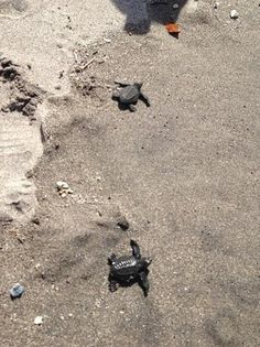 SUBIC- Pawikan Conservation Center (baby turtle hatchery. make sure it's the season for them to hatch)