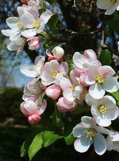 Flora Photograph - A Sign Of Spring by Bruce Bley Flowering Crabapple Tree, Flowering Bushes, Blossom Trees, Blossom Flower, Flower Art, Peach Blossoms, Apple Blossoms, Blooming Trees, Flower Phone Wallpaper