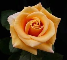 Rose Flower Tattoos, Flower Tattoo Designs, Lavender Roses, Yellow Roses, Romantic Roses, Beautiful Roses, Exotic Flowers, Pretty Flowers, Rose Reference