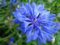 Aisne 14-18 Le centenaire - Mes bleuets 2
