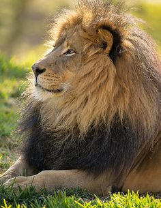 The Magnificent One. My favorite big cat ever, Izu. Taken in Lion Camp at the San Diego Zoo Safari Park, January 18, 2014 Izu_25Q9374