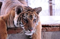 How can you not adore such a sweet face? Love what In-Sync does for rescued exotic cats.