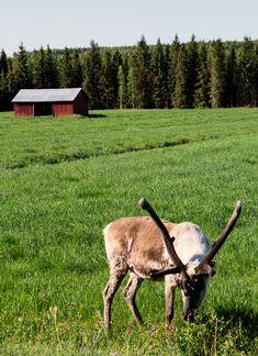 Le renne du Père Noël en vacances d'été en Laponie en Finlande
