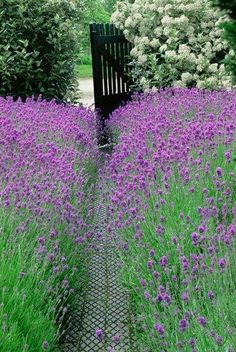 the gate to our farm, th path filled with Lavendar!