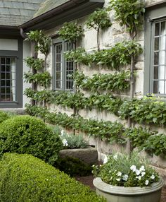Espalier on a home with lush landscaping by John Howard.