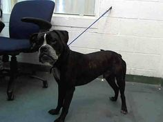 TORRO (A1664484) I am a male brown brindle and white Boxer.  The shelter staff think I am about 8 months old.  I was found as a stray and I may be available for adoption on 12/11/2014. — hier: Miami Dade County Animal Services. https://www.facebook.com/urgentdogsofmiami/photos/pb.191859757515102.-2207520000.1417827765./884268678274203/?type=3&theater