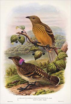 Richard Bowdler Sharpe_ Birds of paradise 3