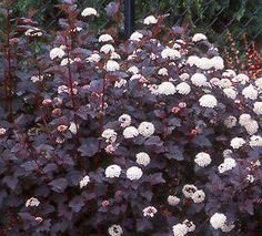 Physocarpus opulifolius Diabolo. According to claus dalby: this is a wonderful plant to grow borders. Cut it down in spring and it regrows quickly. Also longlasting in the vase.