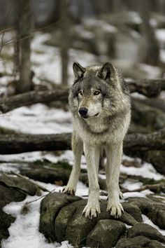 ☀Timberwolf on Lookout... by Daniel Parent on 500px**