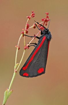 Cinnabar (Tyria jacobaeae) by nutmeg66, via Flickr