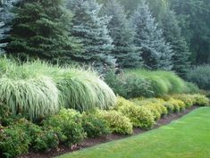another view of large evergreens, maiden grass, and spirea