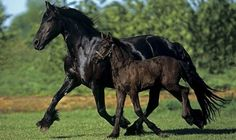Klisna fríského koně s hříbětem, které postupně také získá lesklou černou srst..