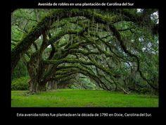 Oak Alley, Carolina do Sul, As 16 Árvores Mais Bonitas do Mundo - (Page Carolina Do Sul, South Carolina, Garden Trees, Trees To Plant, Delonix Regia, Tree Tunnel, Baumgarten, Nature Sauvage, Plantation