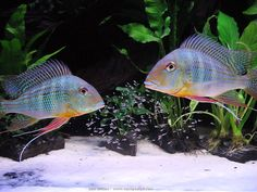 geophagus altifrons | Geophagus altifrons